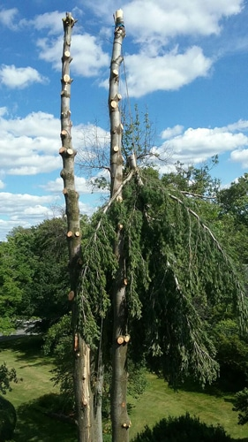 Pine Tree Removal in Mansfield OH
